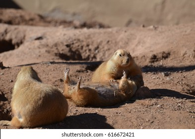 Cute prairie dog performing cpr on another prairie dog on his back.