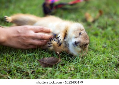 Royalty Free Prairie Dogs As Pet Stock Images Photos Vectors