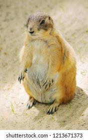 Cute Prairie dog sitting on the sand