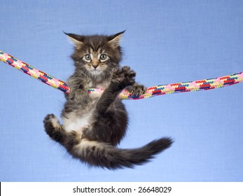 Cute and pretty Maine Coon MC kitten hanging from colorful rope on light blue background fabric