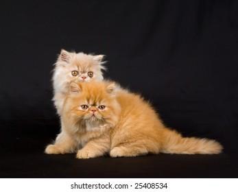 Cute pretty Persian kittens on black background fabric