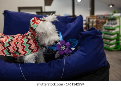 Cute products inside a pet superstore. A small plush scottie dog is viewed close up inside a pet shop, wearing a colorful jacket and standing on blue beds with copy space on the right.