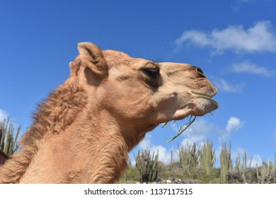 Cute profile of a dromedary camel in the desert.