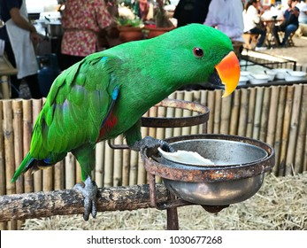 A cute Psittacines or Parrot bird is eating rice crispy.