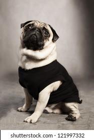 cute pug breed dog wearing a black shirt on grunge background