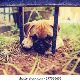 a cute pug chihuahua mix puppy - chug, digging in the dirt under a wrought iron fence in a backyard