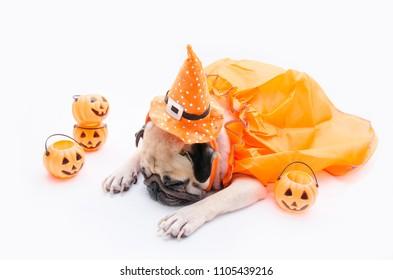 Cute pug dog with costume of happy halloween day sleep on sofa with the plastic pumpkin Jack O'Lantern