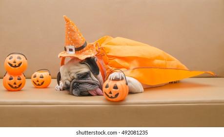 Cute pug dog with costume of happy halloween day sleep on sofa with plastic pumpkin Jack O'Lantern