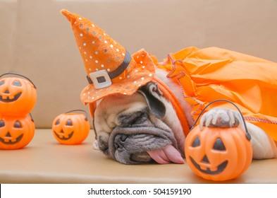 Cute pug dog with costume of happy halloween day sleep rest on sofa with plastic pumpkin Jack O'Lantern