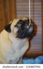Cute pug dog eating 1 line long spaghetti