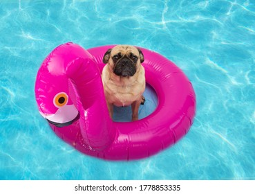 Cute pug dog floating on a pink flamingo floatie in a pool