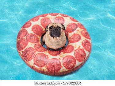 Cute pug dog floating in a pizza pool floatation device