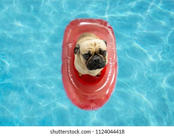 Cute Pug dog floating in a swimming pool in a red inflatable boat