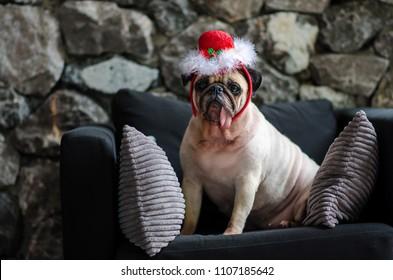 Cute pug dog lying on the black sofa with Santa Claus hat