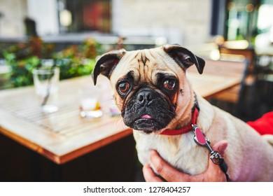 a cute pug dog at a pub