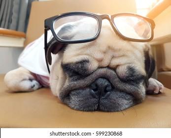 Cute pug dog puppy sleeping rest on sofa with eyeglasses like a nerd