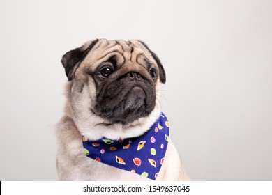 Cute pug dog with Scarf so handsome and healthy purebred dog on gray background,Adorable Dog Concept