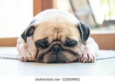 Cute pug dog sleep rest on the floor and tongue sticking out in the lazy time