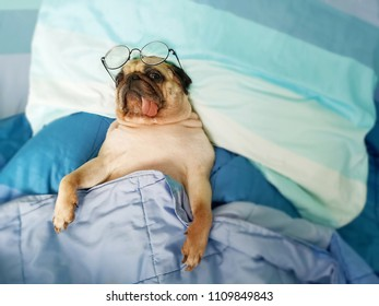Cute pug dog sleep rest in the bed, wrap with blanket and tongue sticking out in the lazy time with the eyeglasses
