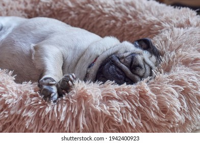 Cute pug dog sleeps deeply on his fluffy bed - Shutterstock ID 1942400923