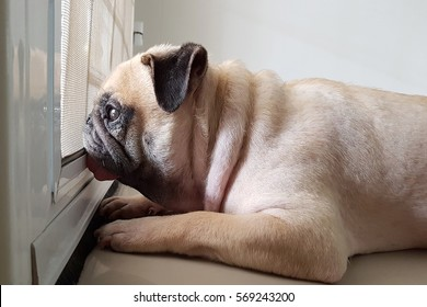 Cute pug dog wait owner to come back home at the door