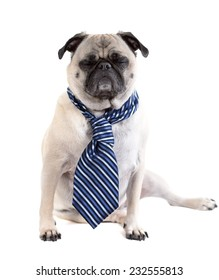 A cute pug dog wearing a business tie has its eyes closed, as if sleeping or frustrated.