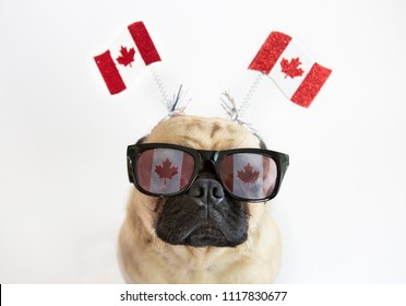 Cute pug dog wearing Canadian Flag sunglasses and flags on headband for Canada Day