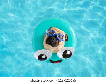 Cute pug dog wearing goggles floating in a swimming pool with a blue ring flotation device