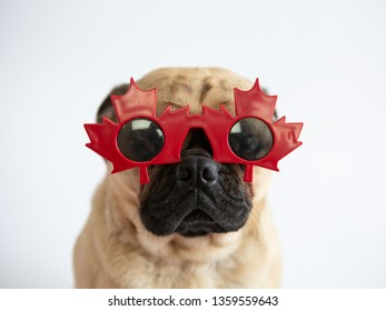 Cute pug dog wearing red maple leaf glasses for Canada Day