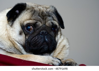 Cute pug face in the summer day