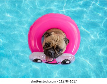 Cute pug floating in a swimming pool with a pink ring flotation device