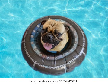 Cute pug floating in a swimming pool with a ring flotation device