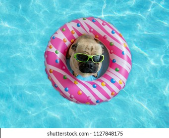 Cute pug floating in a swimming pool with a pink donut ring flotation device & wearing sunglasses
