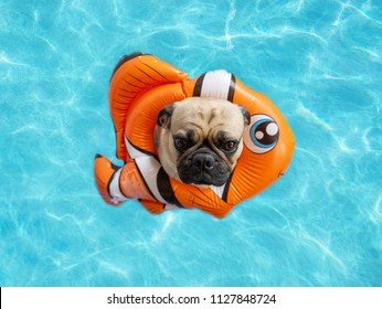 Cute pug floating in a swimming pool with an orange fish ring flotation device