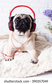 Cute pug in the headphones as a DJ against a white brick wall. The image of the background. Selective focus.