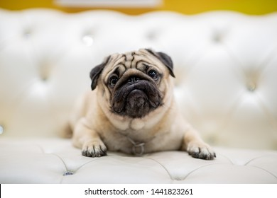 Cute pug lying on sofa smile and happiness with positive emotional and looking up,Healthcare Purebred Dog Concept