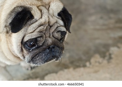 Cute pug lying,dog with sad eyes.