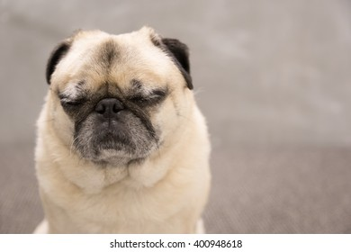 Cute pug portrait with his eyes closed with a gray backgound