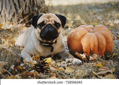 Cute pug  and pumpkin ready  for halloween party. Autumn concept. Thanksgiving day. Autumn composition.