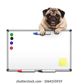 cute pug puppy dog hanging with paws on blank marker white board with markers and magnets, isolated on white background
