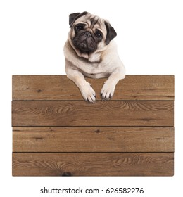 cute pug puppy dog hanging with paws on blank wooden promotional sign, isolated on white background