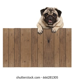 cute pug puppy dog hanging with paws on blank wooden fence promotional sign, isolated on white background