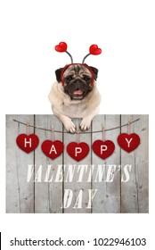 Cute pug puppy dog leaning on wooden fence of used scaffolding wood with red hearts and text happy valentines day, isolated on white background