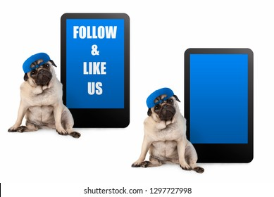 cute pug puppy dog looking smart, sitting next to tablet phone with text follow and like us, wearing blue cap, isolated on white