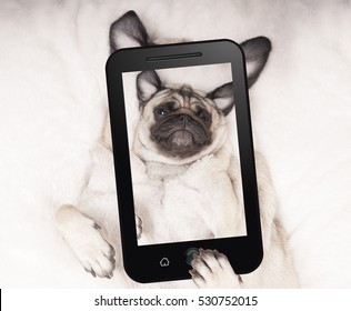 cute pug puppy dog lying on blanket on back, taking selfie with mobile phone