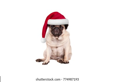 cute pug puppy dog with santa hat for Christmas, sitting down, looking grumpy, isolated on white background