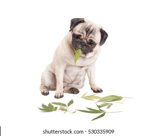 cute pug puppy dog sitting down and eating weed leafs, Cannabis sativa, CBD, isolated on white background