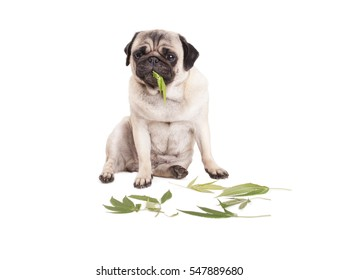 cute pug puppy dog sitting and eating Cannabis sativa weed leafs, on white background