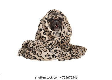 cute pug puppy dog sitting down, rolled up in fuzzy blanket, coughing, having a cold, isolated on white background