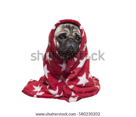cute pug puppy dog sitting down, rolled up in fuzzy red blanket, isolated on white background
